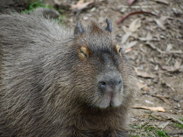 Close up of a capybara with its eyes closed