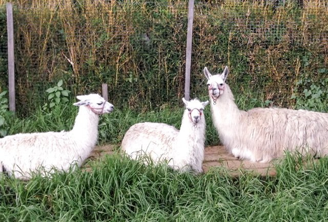 Three llamas lying in front of a fence