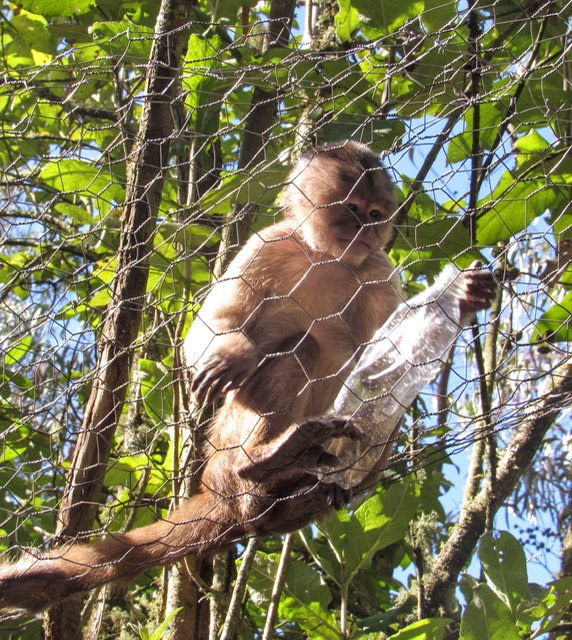 A White Capuchin Monkey in a wire tube holding a plastic bottle