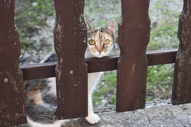 A calico cat with large yellow eyes looking through a fence