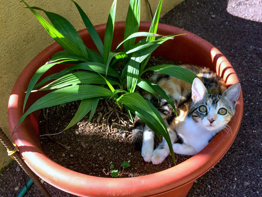 Kitten in a planter