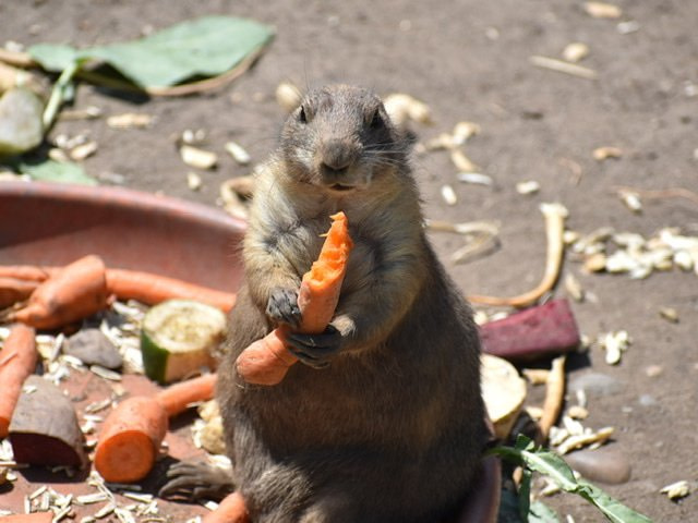 A prairie dog at the Budapest Zoo