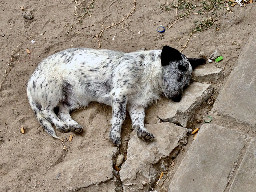 Black and white spotted dog sleeping on dirt and stones