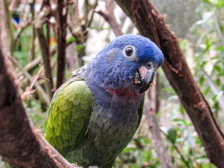 Close up of a blue-headed parrot with t a seed in his mouth