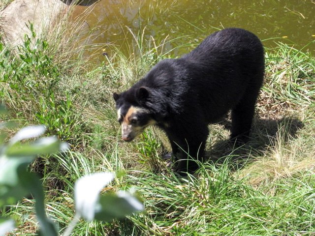Andean or Spectacled Bear in Amaru Bioparque
