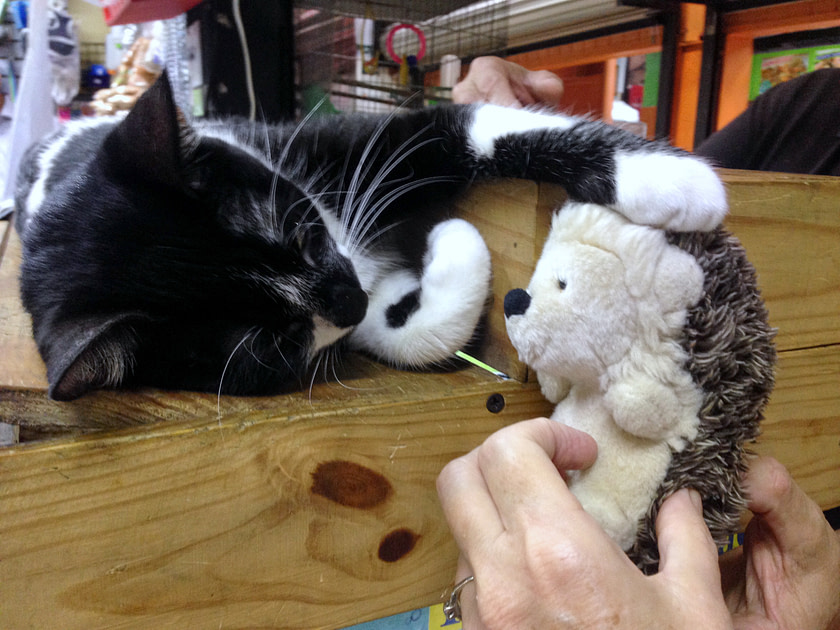 Reclining black and white cat patting a toy hedgehog