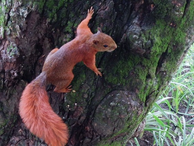 Andean Squirrel on tree.