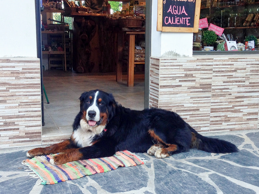 Burnese Mountain Dog lying in front of a cafe