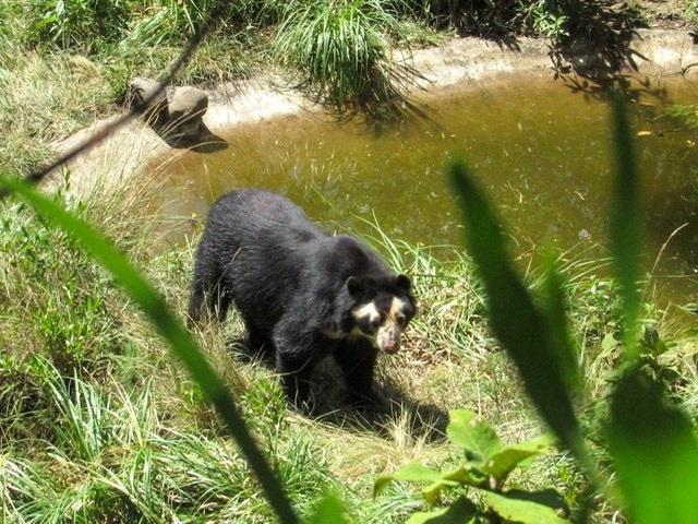 A bear standing by a pond