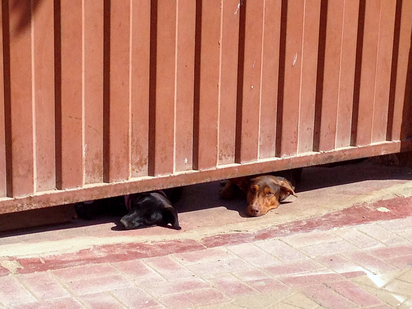 Two dogs peeking out from under a gate