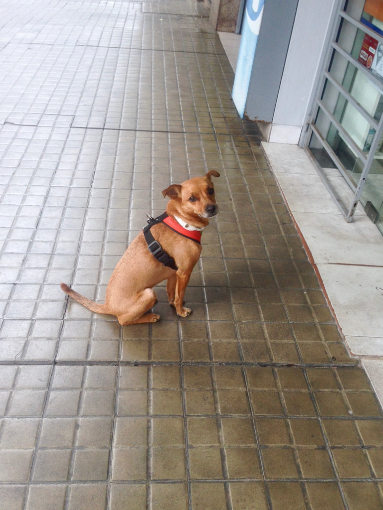 Small dog with harness sitting in front of a supermarket