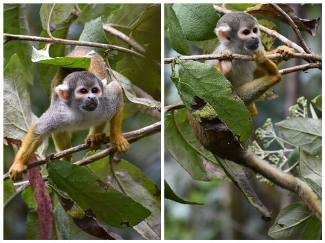 Photos of two spider monkeys in bushes