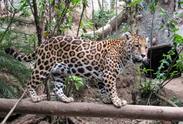 A Jaguar standing on a log