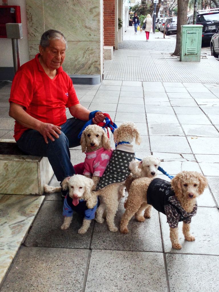 Man with five poodles