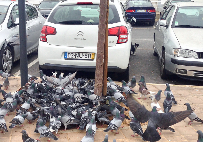 Cat peeking around a car at a flock of pigeons