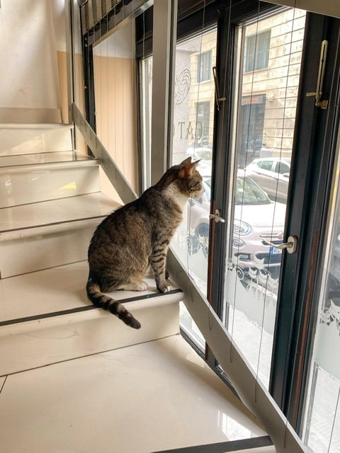 A grey and white cat looking out of a window