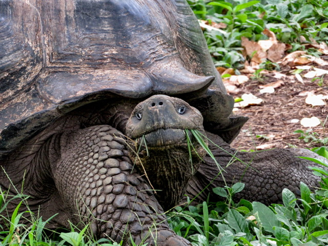 A Galapagos Tortoise with grass in his mouth