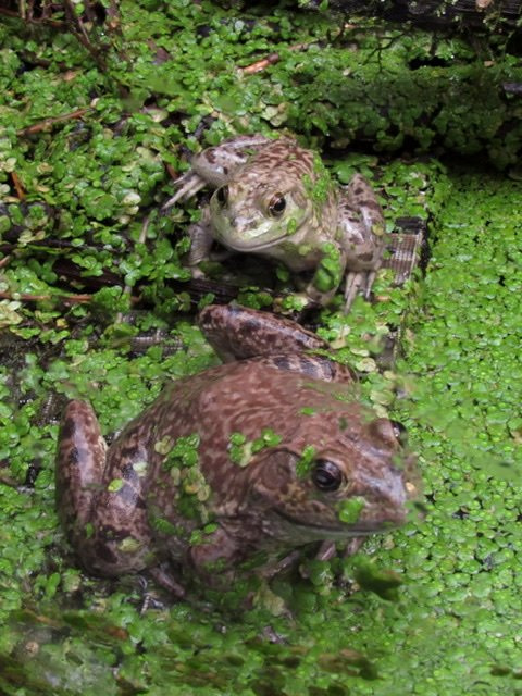 Two American Bullfrogs in a vegetation filled pond
