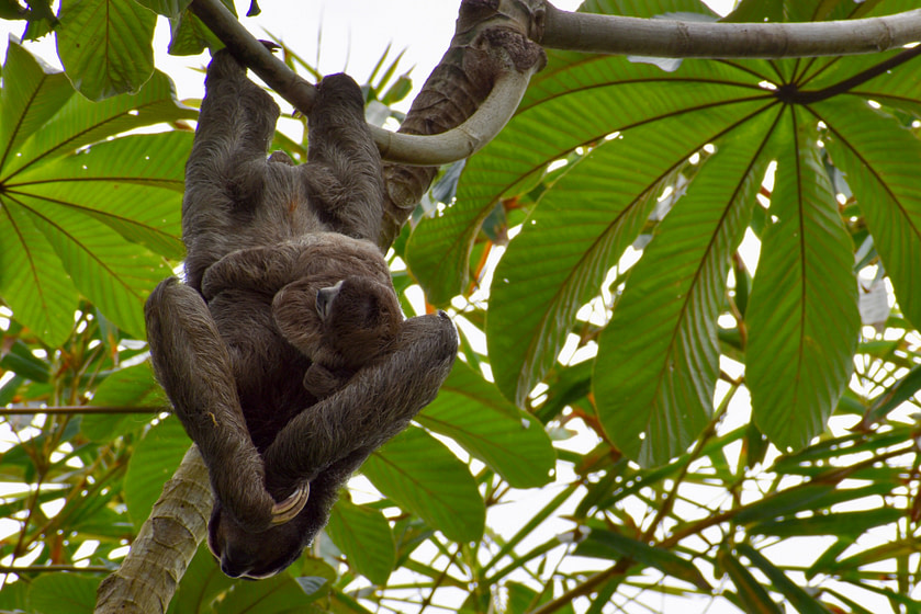 Mother sloth with baby