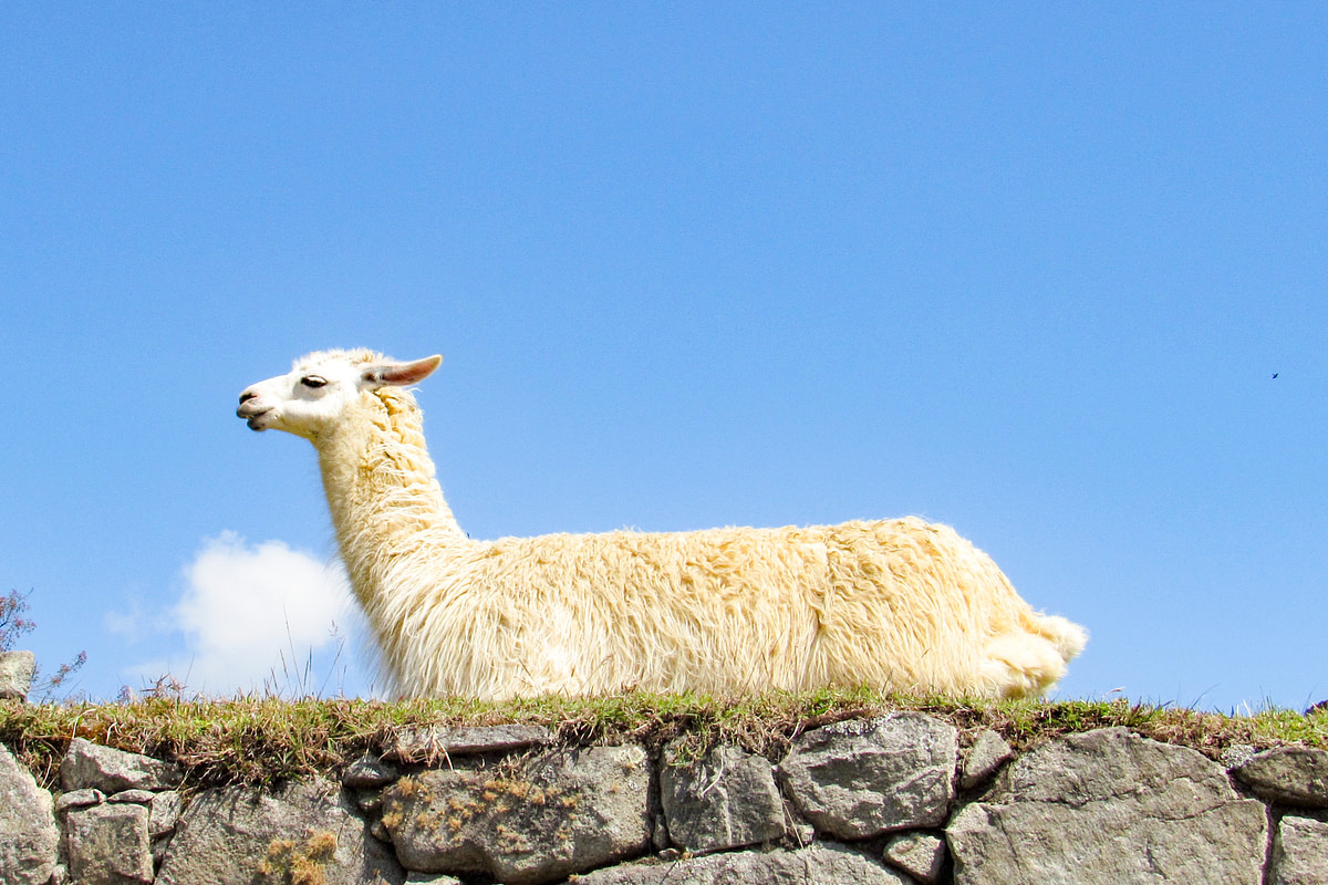 Llama lying on a stone wall
