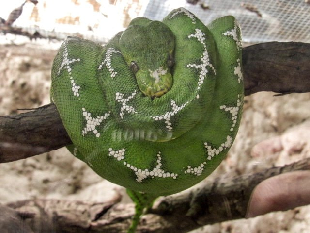An Emerald Tree Boa resting on a tree branch
