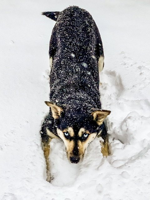 A large, dark-colored dog playing in the snow
