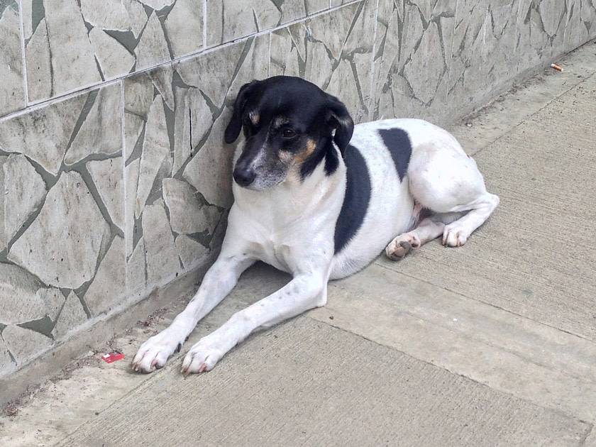 Black and white dog lying on a sidewalk against a stone wall