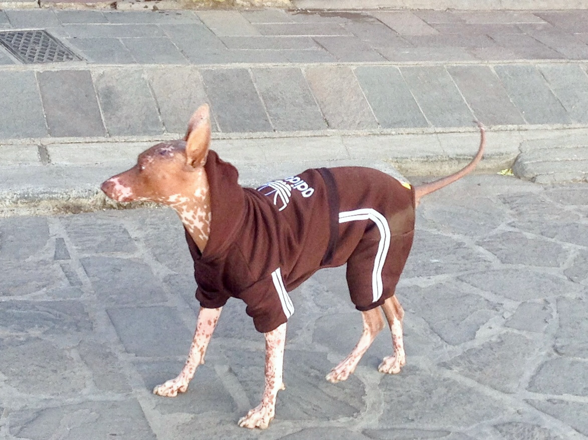 Medium-sized dog dressed in brown shorts and hoodie