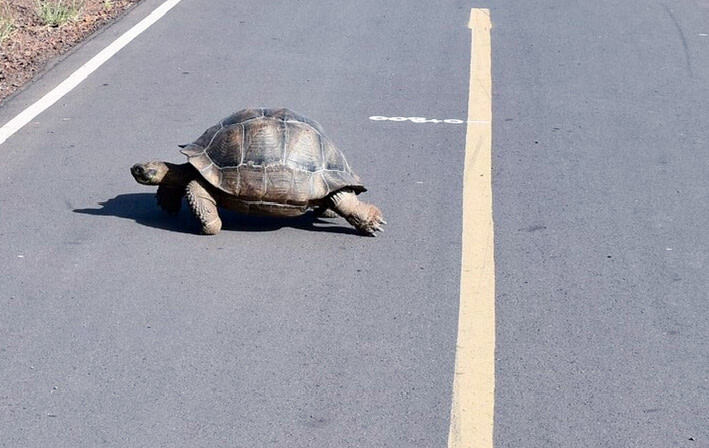 Galapagos tortoise crossing the street