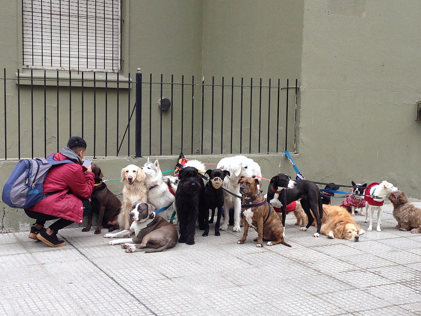 Group of dogs with a dog walker