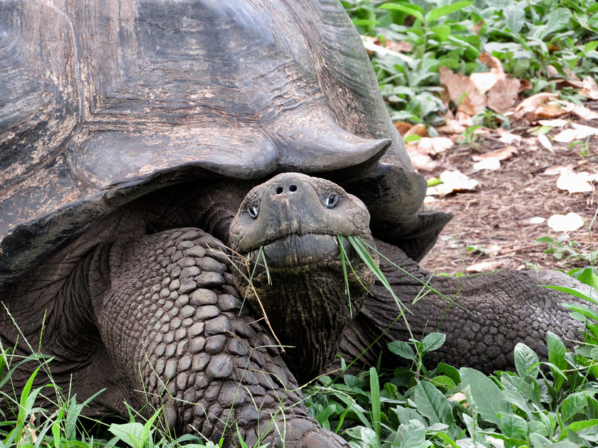 Galapagos tortoise with grass in his mouth