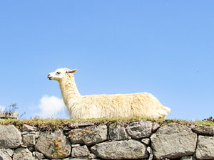 A llama lying on a stone wall
