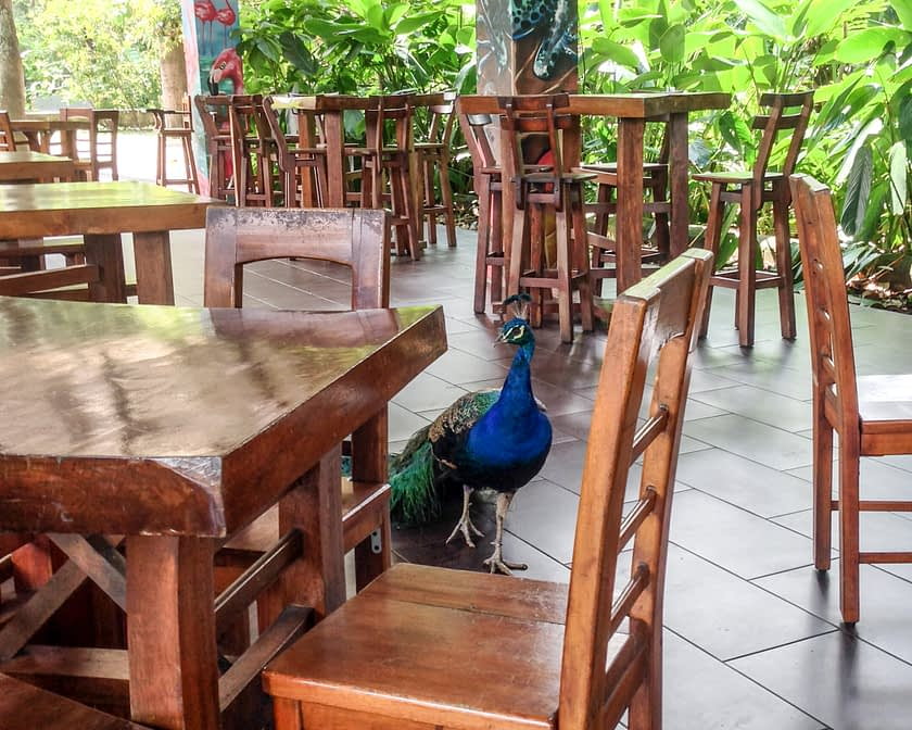 Peacock on dining patio