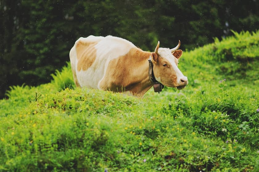 Photo of a cow in a field of grass